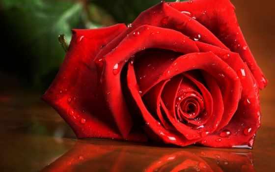 роза, капли