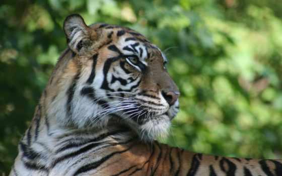 тигр, pack, play