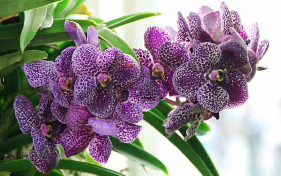 орхидеи, цветы, орхидея, вышивки, фиолет, схема, схемы, желтые, светло,