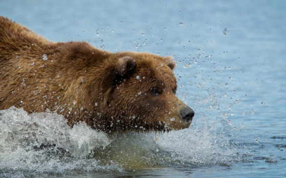 медведь, браун, grizzly, swim, water,