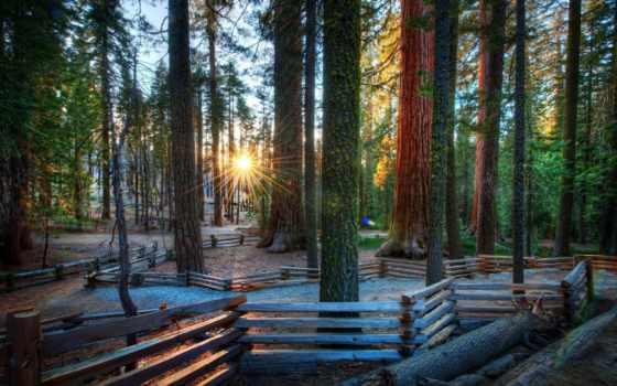 was, сквозь, rays, разных, деревьев, стволы, trey, пробиваются, хвойных,