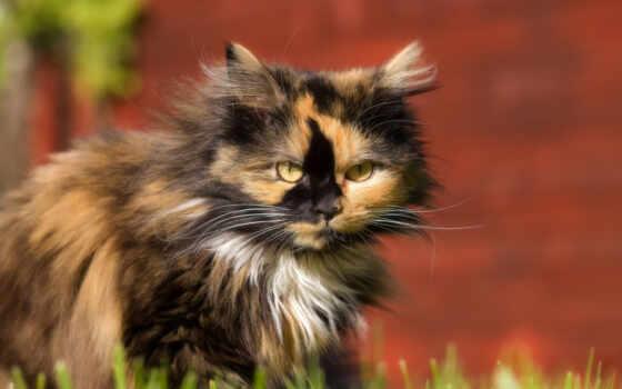 кот, animal, kot, аватар, кун, оригинал, norweskie, permission, forum