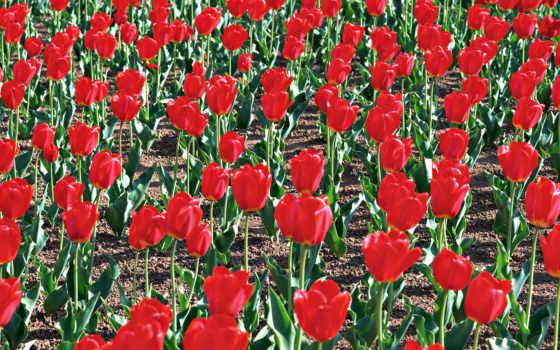 тюльпаны, цветы Фон № 2272 разрешение 1920x1080