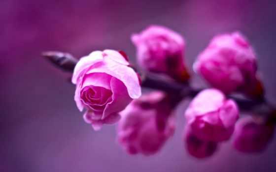 розовые, розы, branch