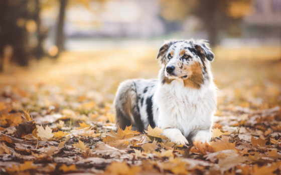 осень, zhivotnye, листва, любят, собаки, фотографиях,
