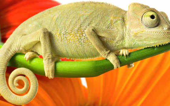 зелёный, chameleon, red, оранжевый, color, branch,