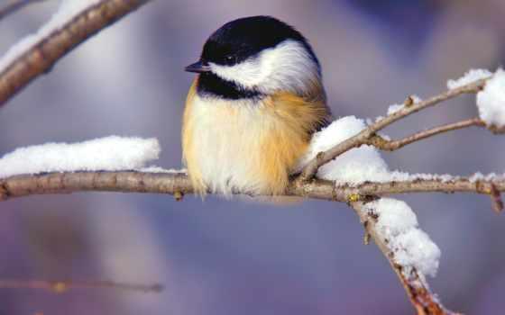pájaro, pájaros, naturaleza, animal, nieve, diamante, fondos, del,
