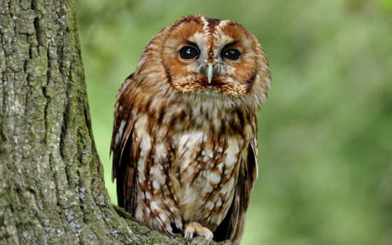 owl, animal