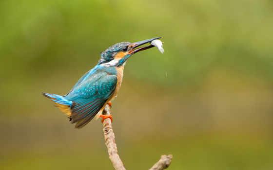 зимородок, обыкновенный, птица, картинка, birds, добыча, картинку,