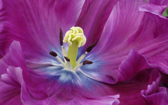 tulip, purple, lila, gardens, kuekenhof, flower,