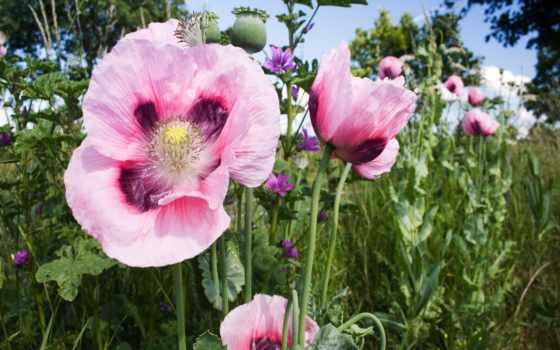 маки, розовые, цветущие