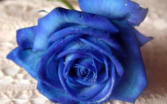 роза, цветы, розы