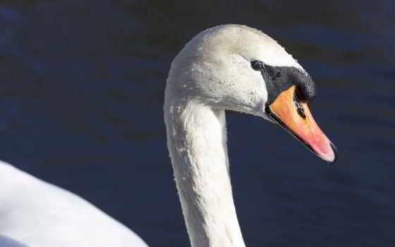 клюв, profile, голова, лебедь, птица, шея, zhivotnye,