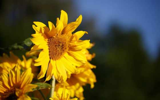 цветы, flowers, sunshine