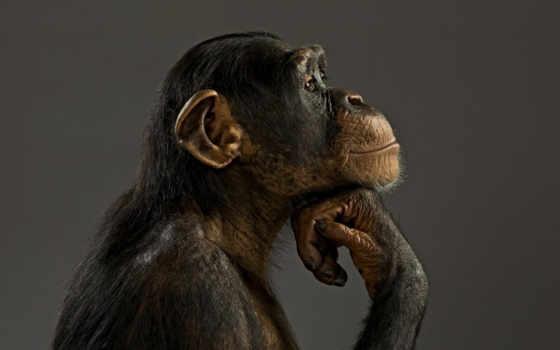 обезьяны, обезьяна, шимпанзе, коллекция, лучшая, уже, загружено,