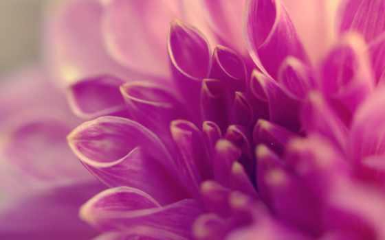 макро, лепестки, цветы, сиреневый, трубочки,