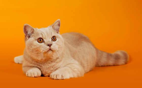 кот, red, кошки, взгляд, оранжевый, лежит, высоком, качестве, коты,