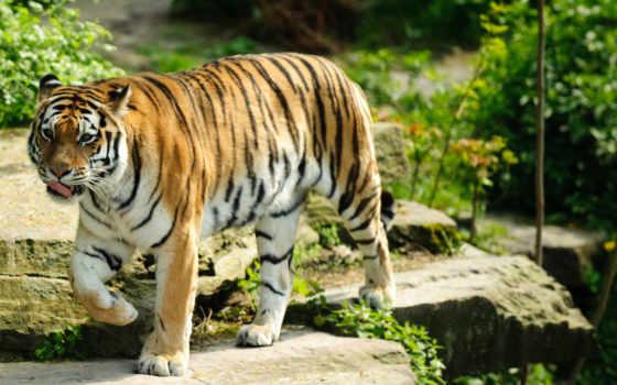 ecran, тигр, fond