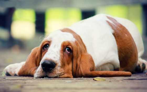 собака, лежит, собаки, бассет, взгляд, полу, грустная, породы,