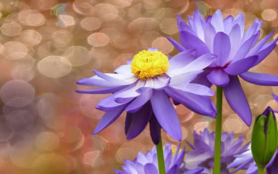 pozadine, slike, pozadinu, mjehurići, cvijeće, fotografije, lopočima, desktop,
