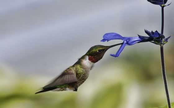 колибри, красивые, полет, счастье, птица, микс, цветы,