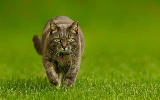 кот, идёт, глазами, траве, зелёными, кота, серо, браун, вики, powered, коты,