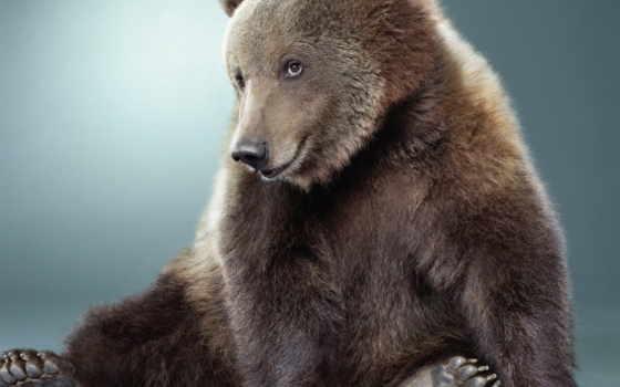 медведь, браун, ipad, медведи, морда,