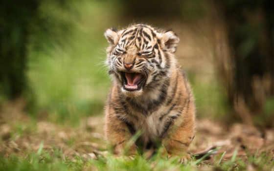 тигр, white, amur, детёныш