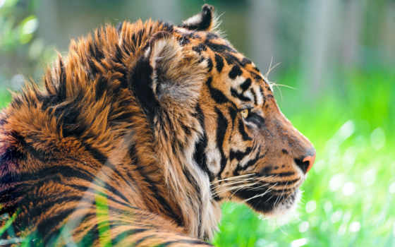 тигр, суматранский, хищник, картинка, картинку,