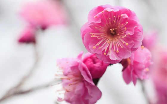 макро, цветы, розовые