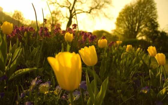 зелёный, монитора, garden, тюльпаны, cvety, глазки, анютины, клумба,