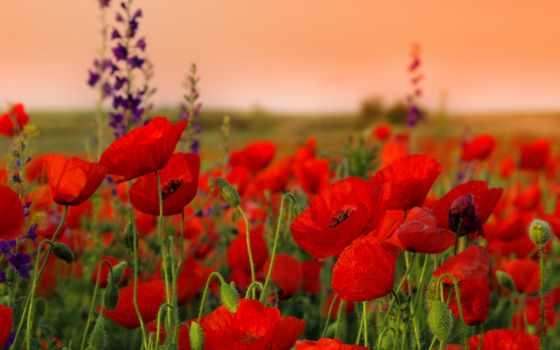 маки, cvety, красные, бутоны, поле, цветки,