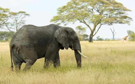слон, африка, слоны, сафари, страница, прогулка, девушка,