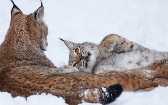 рысь, страница, снег, хищник, browse,