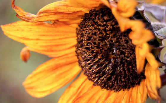 подсолнух, desktop, sunflowers, осень, код, пасть, фон,