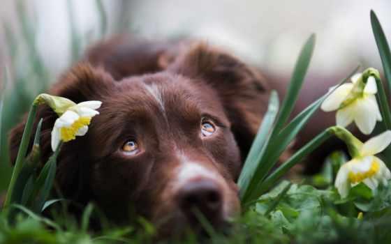 собака, взгляд, cvety, собаки, грустный, нарциссы, картинка,