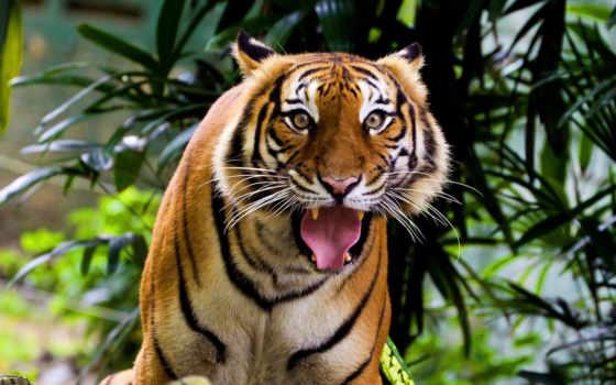 тигр, удивленный