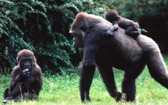 обезьяна, спине, обезьяны