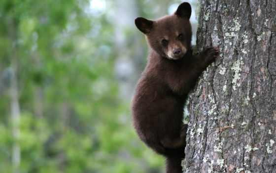 bears, животные, медведь