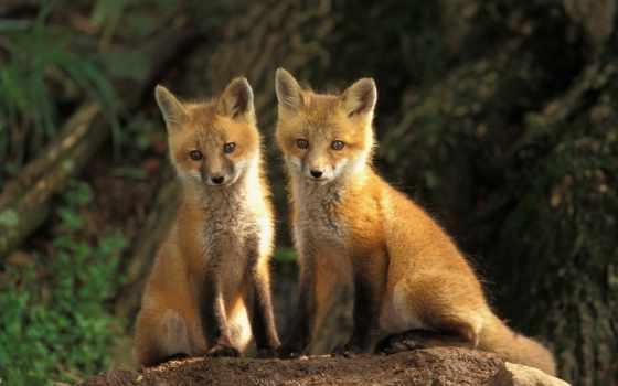 фокс, foxes, лисята