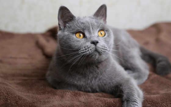 кошки, качестве, британцы