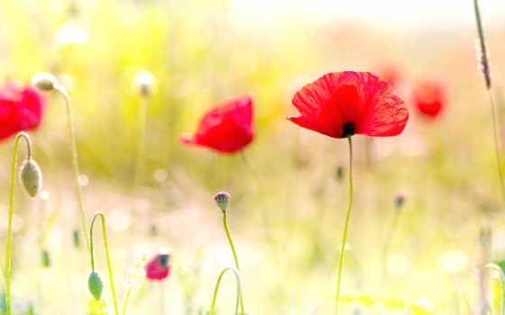 маки, поле, красные, цветы, луг, природа, лепестки, картинка,