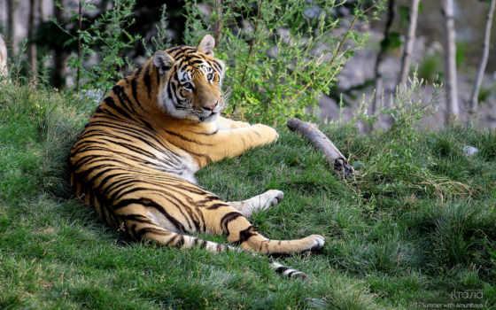 тигр, zhivotnye, смотрит, макро, лежит, рисунки, фоновые, большая, трава,