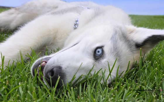 хаски, olhos, cachorro, azuis, pinterest, white, siberian, страница,