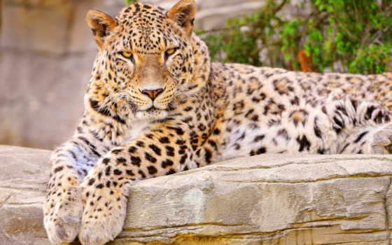 леопард, попробуй, sanctuary, кот, лежит, pocharam, views, животные, большая,