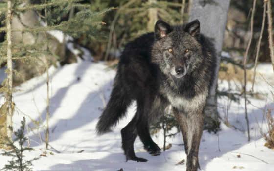 волк, широкоформатные, zhivotnye