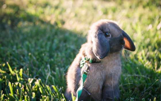кролик, кролики, крольчонок, поводок, зайцы, красивые, bunny, прогулка, картинка,