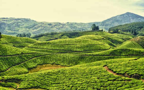 чая, kerala, india, плантация, plantations,