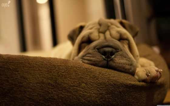 шарпеи, щенок, собака, пей, shar, серый, порода, спать, собаки,