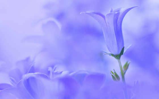 fone, голубом, cvety, bell, blue, женщин, красивые, цветов,